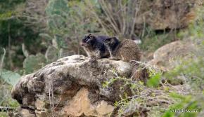 rock-squirrels-Spermophilus-variegatus-Pace-Bend-Austin-TX-Emily+Moskal-wm